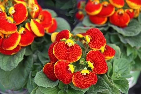 calceolaria: Blooming orange flowers calceolaria (lat. Cypripedium calceolus)