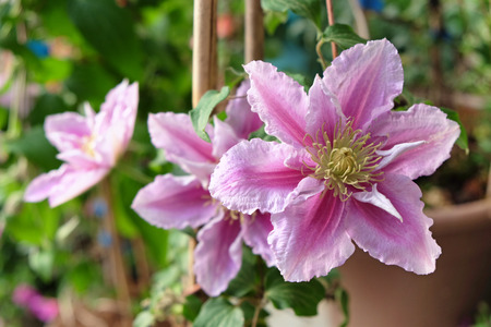 liana: Decorative liana clematis blooms pink flowers in the garden