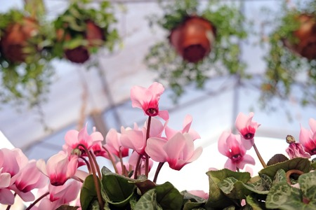 ample: Pink cyclamen in a flower shop on the background of pots with ample plants