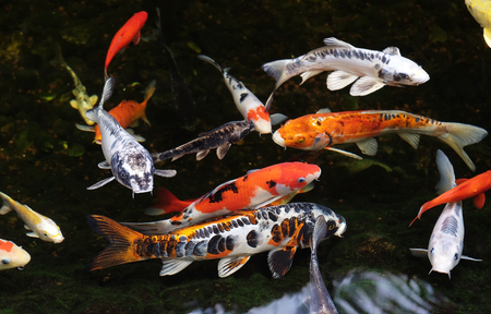 Colored carp koi swim in a pond  (Lat.- Cyiprinus caprio coi)