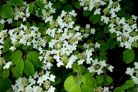Flowering bush of a Doublefile viburnum (Lat.- Viburnum plicatum var. tomentosum) Reklamní fotografie