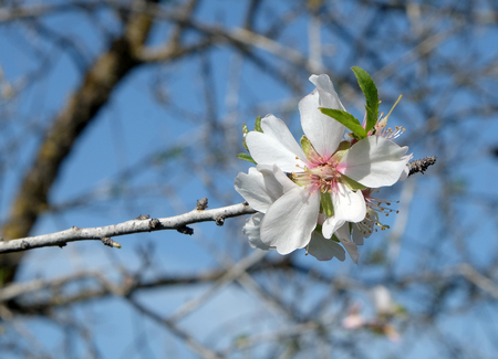 Spring almond blossom on blue sky background Stock Photo