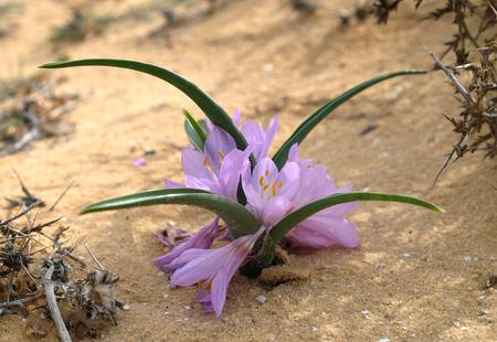 Flowering of autumn crocus colchicium (Lat. - Colchicum Ritchii) in the winter in the Negev desert