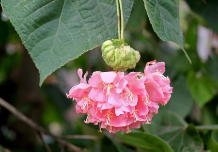 Tree Dombeya Wallichi native of Madagascar blooms beautiful pink flowers