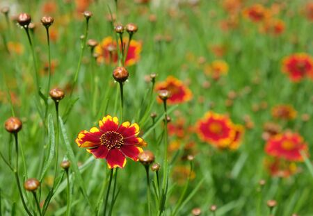 Bright colorful flowers coreopsis in the flowerbed in summer