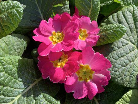 Spring flowering of beautiful red  Primrose (lat. Primula) Banco de Imagens