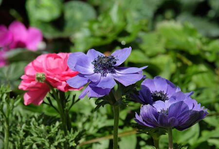 Spring Blooming Anemones (Anemone coronaria) in the wild nature