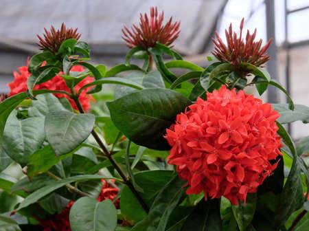 Orange Sherbert Firecracker Flower (Lat. - Crossandra infundibuliformis) Imagens