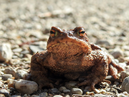 bufo toad: Portrait of a Common Toad (Bufo bufo)