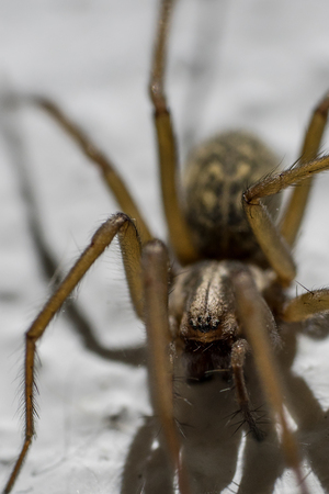 eight legs: Portrait of a Giant house spider (Eratigena atrica)
