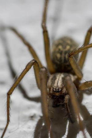eight legs: Portrait of a Giant house spider (Eratigena atrica)