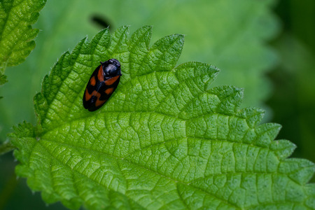 stinging  nettle: Black-and-red froghopper (Cercopis vulnerata) on stinging nettle (Urtica dioica)