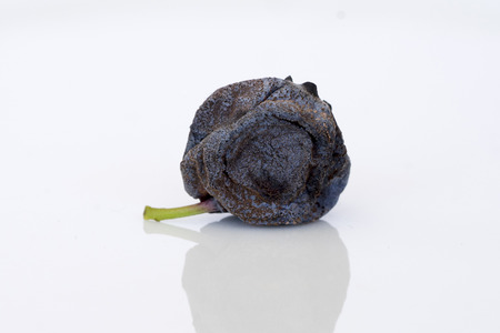 spoilt: Close-up of decaying, partly dried blueberry (side view)
