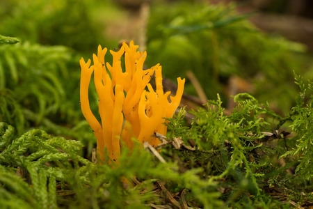 pillowy: Yellow Stagshorn (Calocera viscosa) and cypress-leaved plaitmoss (hypnum cupressiforme) Stock Photo