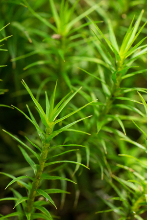 pillowy: Closeup of Haircap moss (polytrichum formosum) Stock Photo