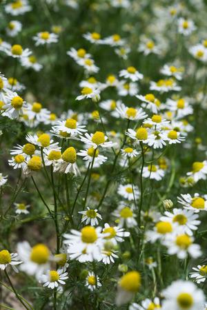 matricaria: Wild Chamomile (Matricaria chamomilla) Field I
