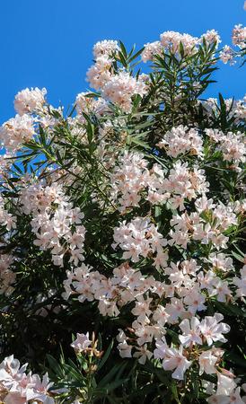 Blooming white oleander (Nerium oleander) bush