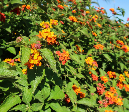 sumptuous: Closeup of blooming big-sage (Lantana) bush II Stock Photo