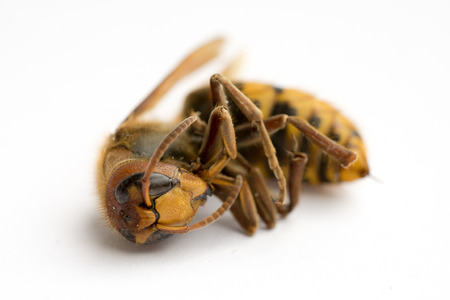 Dead European Hornet (Vespa crabro), SideFrontal view III Stock Photo