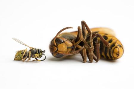Comparación del tamaño del avispón europeo (vespa cabro) y de la avispa común (vespula vulgaris) I Foto de archivo