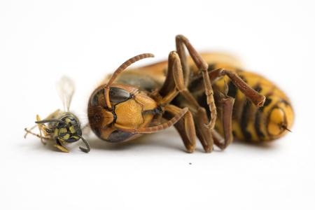 Size comparison of European Hornet (vespa cabro) and Common Wasp (vespula vulgaris) II Stock Photo