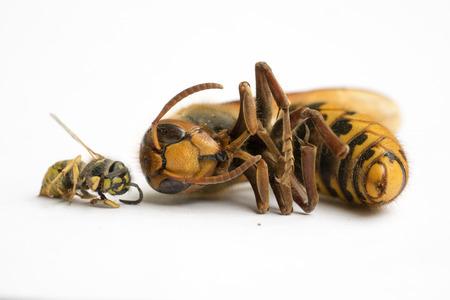 Size comparison of European Hornet (vespa cabro) and Common Wasp (vespula vulgaris) III