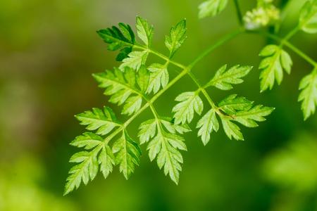 Closeup of Chervil leaf (Anthriscus cerefolium) Stock Photo