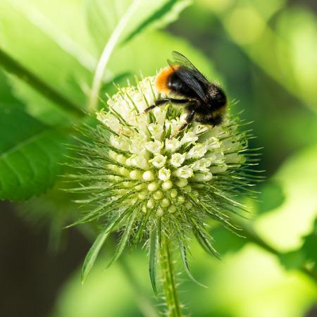 Closeup of Slim teasel flower (Dipsacus strigosus) with wild bumblebee Фото со стока