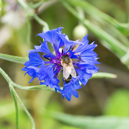 Closeup of Cornflower flower (Centaurea cyanus) with honey bee - from above