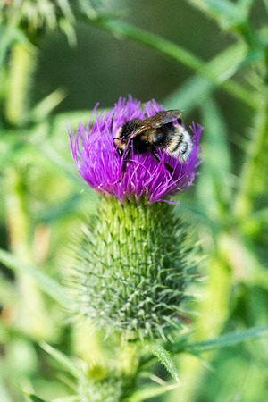 Bumble bee on thistle flower II Stock Photo