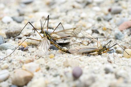 Two Crane Flies (Nephrotoma Spec.) in Copula - side view Stock Photo