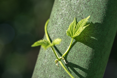 Closeup of Common Hops (Humulus lupulus) growing on green pole