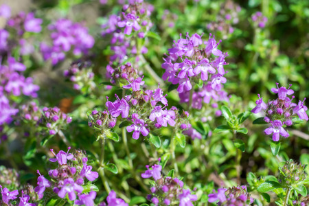 Closeup of flowering Breckland thyme plant (Thymus serpyllum) Stock Photo