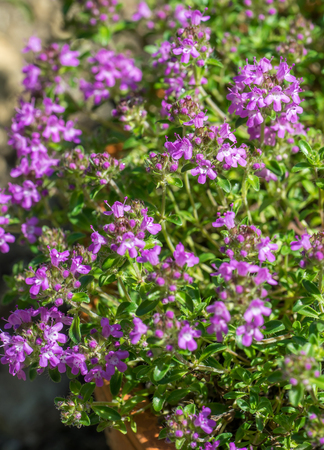Closeup of flowering Breckland thyme plant (Thymus serpyllum) growing in a pot