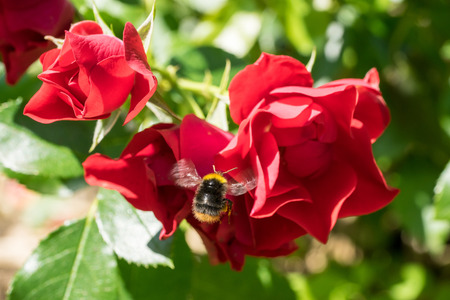 Red-tailed bumblebee (Bombus lapidarius) flying towards red roses