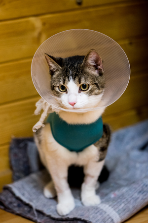 Young cat after stomach surgery with bodysuit and plastic collar to prevent licking