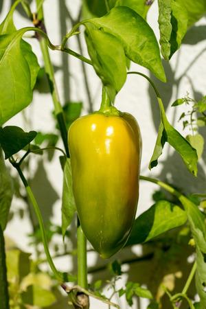 Closeup of sweet pepper plant growing on a terrace Reklamní fotografie