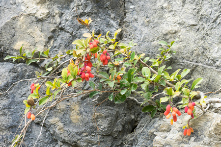 Small Barberry (Berberis) shrub with red berries growing on rock face