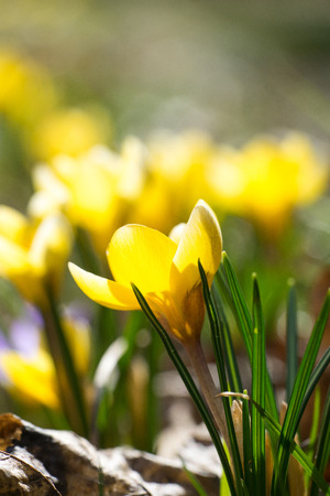 Closeup of yellow snow crocus flowers (Crocus chrysanthus) in the sunshine Reklamní fotografie