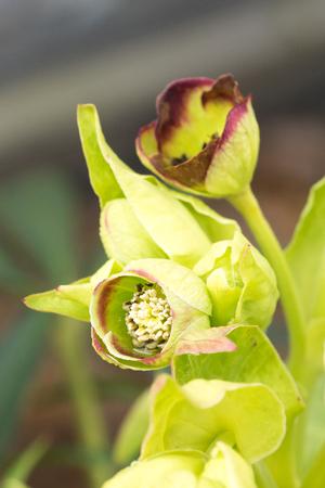 Closeup of hellebore flowers (Helleborus foetidus)