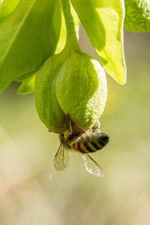 Closeup of honey bee (Apis mellifera) on hellebore flowers (Helleborus foetidus)