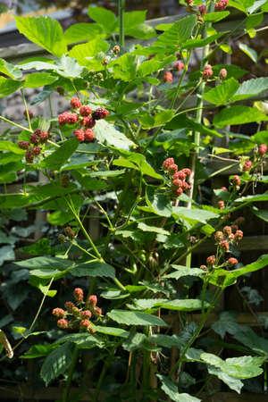 Blackberry plant (Rubus spec.) with unripe berries (Rubus spec.) growing on a garden fence Standard-Bild