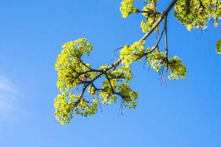 Blooming maple tree twig against blue sky