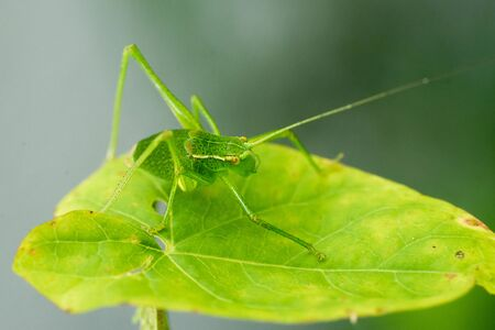 Closeup of a bush-cricket (prob. young Leptophyes punctatissima)  写真素材