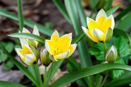 Closeup of wild tulip flowers (prob late tulip, Tulipa tarda)