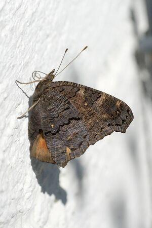 Closeup of a European peacock butterfly (Aglais io) sunning on a wall