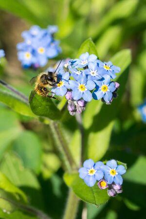 Closeup of a wild mason bee (prob. Osmia bicornis) on forget-me-not (Myosotis spec.) flowers