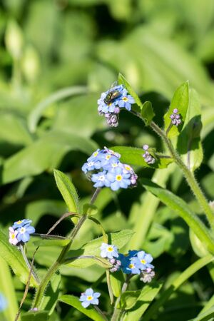 Closeup of a green fly on forget-me-not (Myosotis spec.) flowers