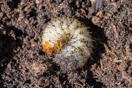 Closeup of a Grub (prob. rose chafer, Cetoniinae) in brown earth