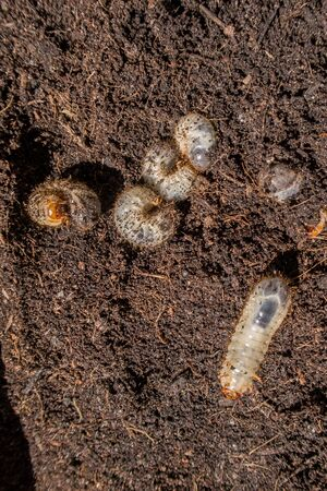 Several Grubs (prob. rose chafer, Cetoniinae) on brown earth, one moving on ist back